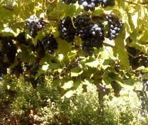 Weintrauben am Busch in der Natur